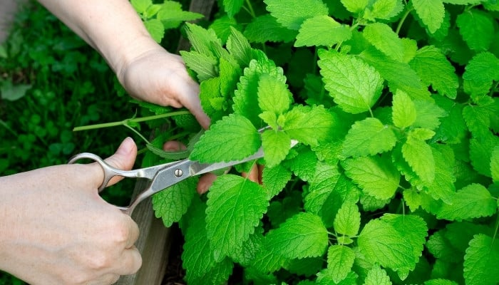 A woman using scissors to harvest fresh mint from the garden.