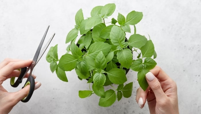 A woman's hand holding scissors about to cut fresh leaves from basil plant.