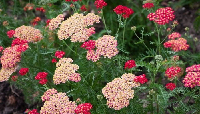 Pink and red yarrow blooms in garden.