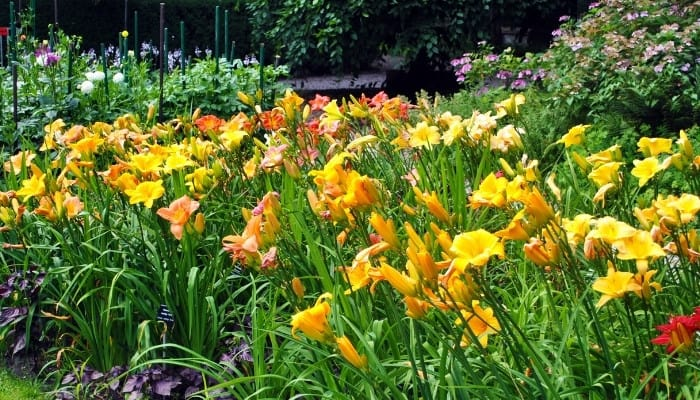 A patch of yellow and orange daylilies with other flowers in background.