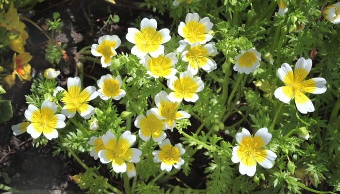 A lovely meadowfoam, or poached egg plant, in full bloom.