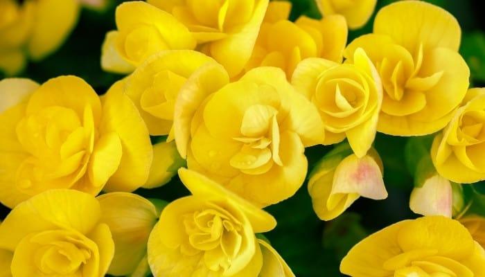 Beautiful bright yellow begonia blooms.