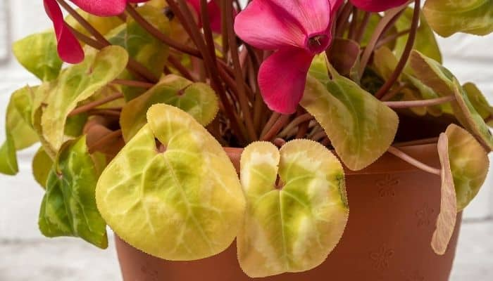 Pale, yellow leaves on an indoor cyclamen plant caused by too much sun.