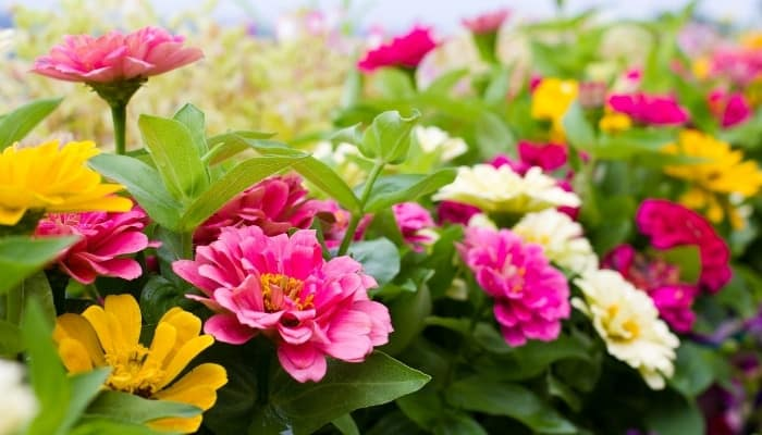 A large patch of zinnia flowers blooming in a variety of colors.