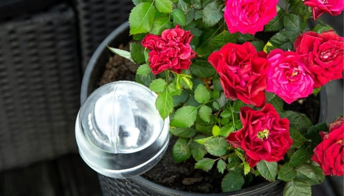 A clear watering globe in a small potted red rosebush.