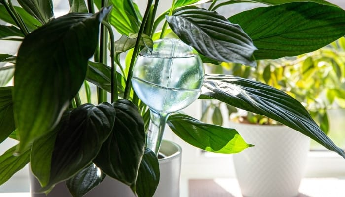 A clear plastic watering globe in a peace lily plant indoors.