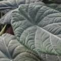 An up-close view of the gray leaves of the Alocasia Maharani plant.