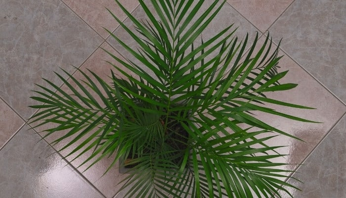 An areca palm tree (dypsis lutescens) viewed from above.
