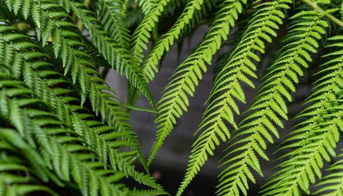 An up-close look at a frond from the Australian tree fern.