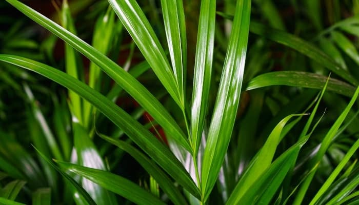 A close-up look at the bamboo palm (Chamaedorea seifrizii).