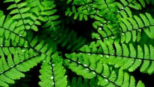 A close-up look at the fronds of a Black Admiral maidenhair fern.