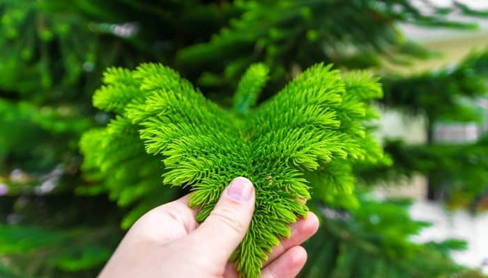 A woman's hand inspecting a branch from a Norfolk Island pine tree.