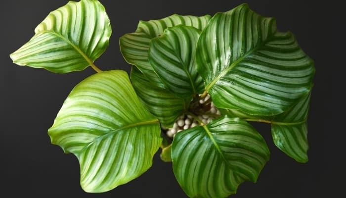 A Calathea orbifolia plant viewed from above against a black background.
