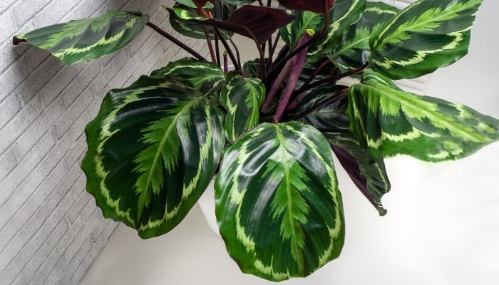 A close-up look at Calathea roseopicta leaves.