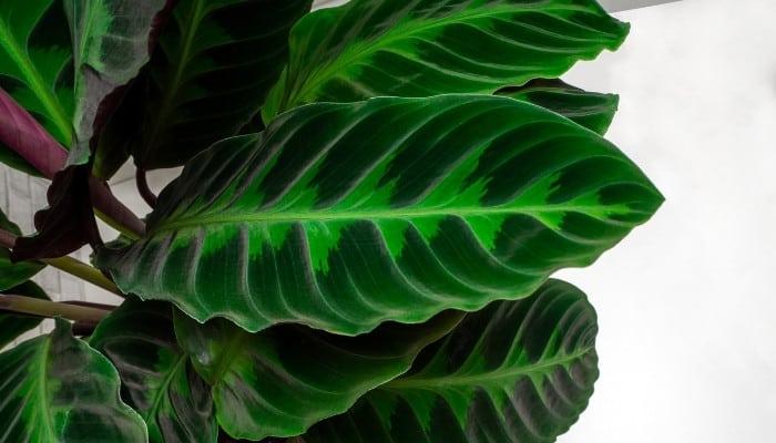 Calathea warscewiczii leaves close up.