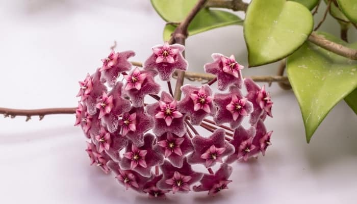 A dark pink flower and triangle leaves of the Hoya Flower and foliage of Hoya krohniana plant.
