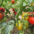 Several healthy, staked tomato plants laden with fruit in various stages of ripening.
