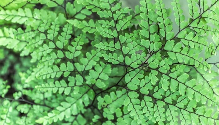 A lovely Himalayan maidenhair fern with black stems.