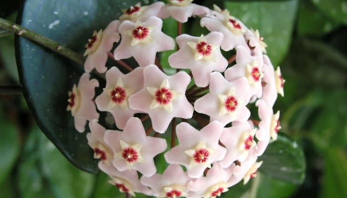 Up-close look at the flower of Hoya nummularioides.