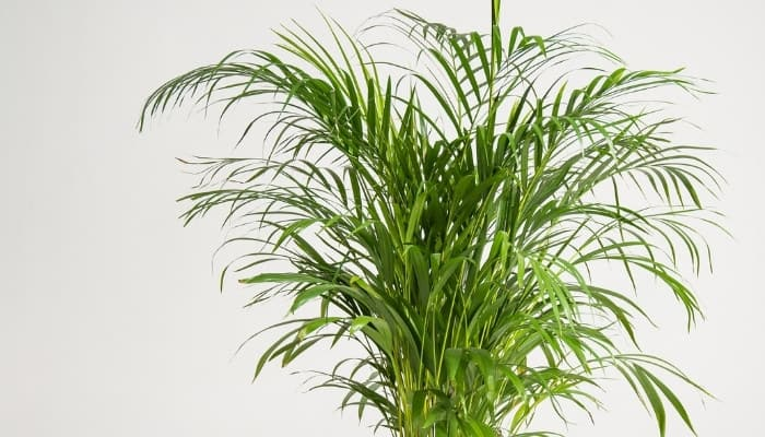 The top portion of a kentia palm tree growing indoors.