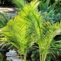 Two small majesty palm trees growing beside a garden pond outside.