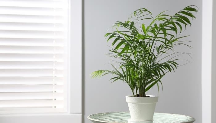 A small majesty palm in a white pot on a table near a bright window.