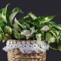 A lovely Manjula pothos plant in a woven-basket-style planter with white fringe.