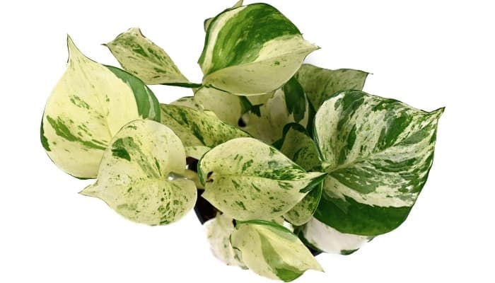 A manjula pothos plant viewed from above on a white background.