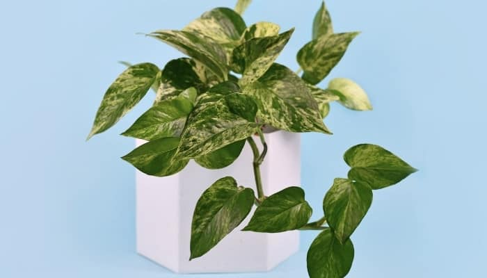 A Marble Queen Pothos in a white pot against a light-blue background.