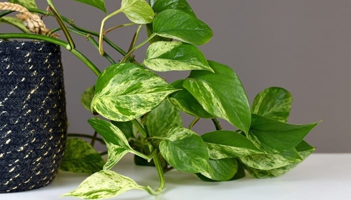 A Marble Queen Pothos trailing from a navy-blue woven container onto the counter.