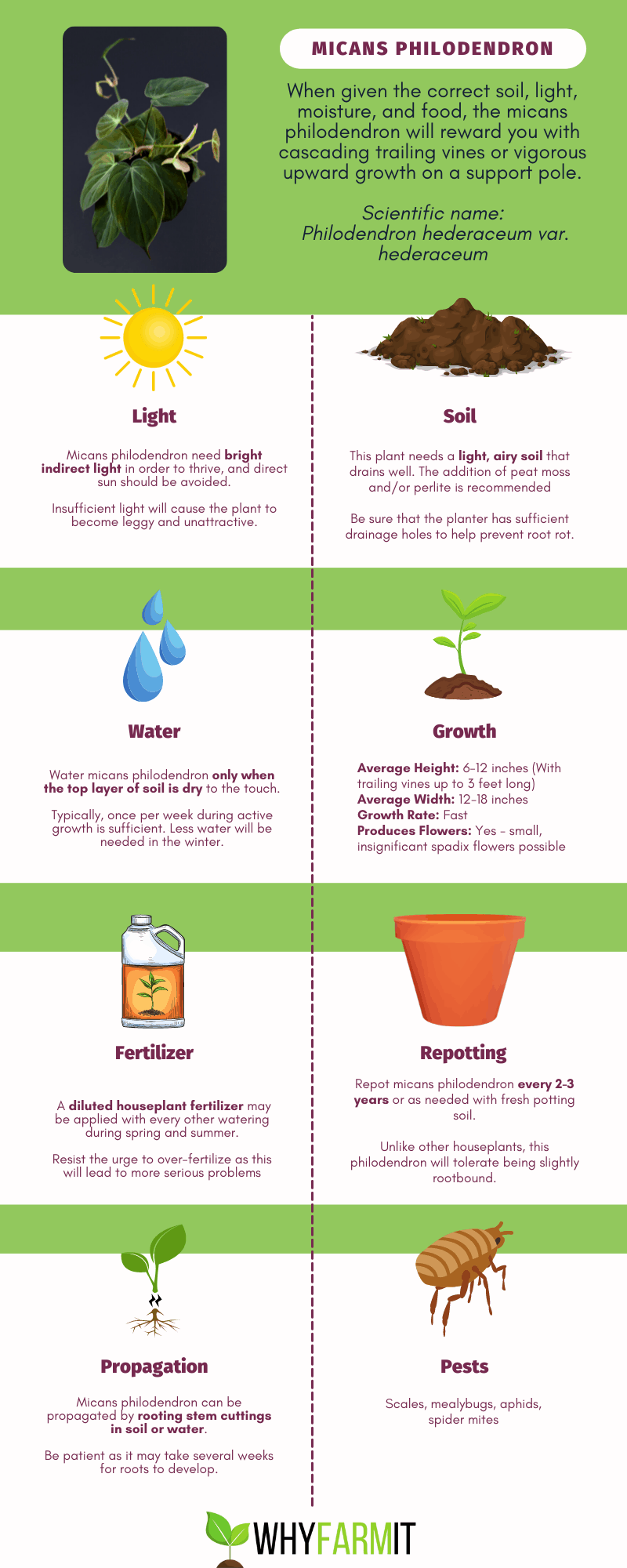 Graphic outlining care of micans philodendron.