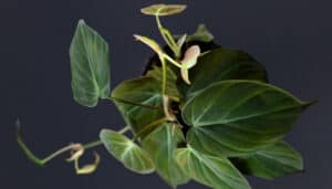 Top view of a micans philodendron on a black background.