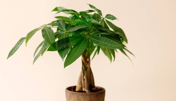 A potted money tree against a peach background.