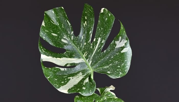 A single leaf of the Monstera deliciosa 'Thai Constellation' plant on a black background.