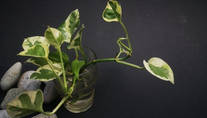 An NJoy pothos plant growing in a glass of water on a black background.