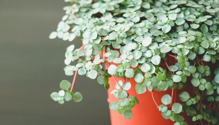A Pilea glauca plant in a red container against a gray background.