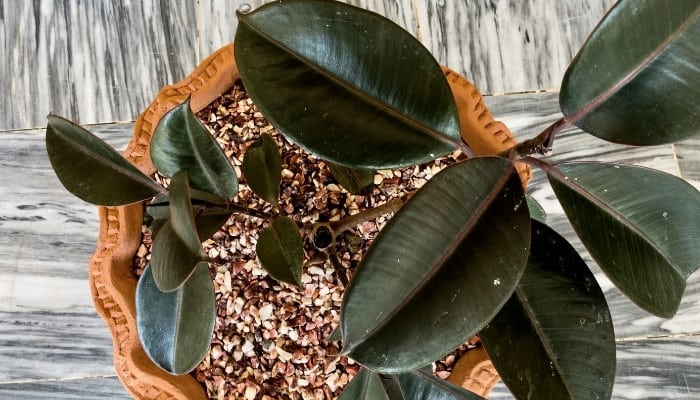 A potted rubber tree, Ficus elastica, viewed from above.