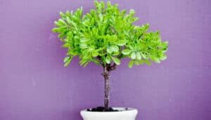 A small potted tree in a white planter in front of a purple wall.