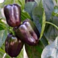 Three purple bell peppers ripening on a pepper plant.