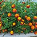 A mass of red-and-orange marigolds blooming profusely in a raised concrete bed.