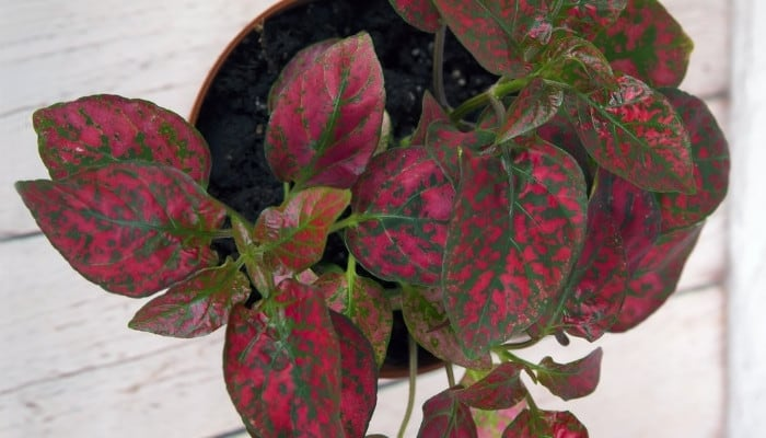 A potted red polka dot plant on a white wood table.
