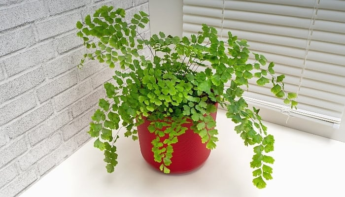 A Southern maidenhair fern on counter in front of window with closed blinds.