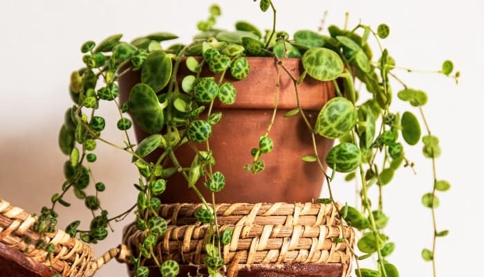 A string of turtles plant in a terra cotta pot sitting on top of a basket-style tray.