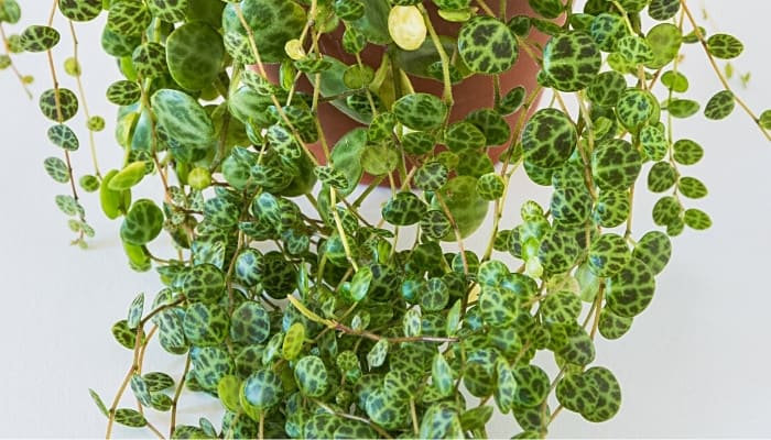 The lower portion of a string of turtles plant showing the cascading leaves that resemble turtle shells.