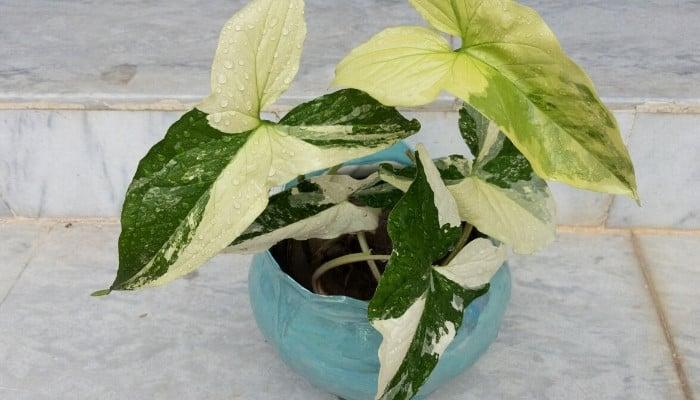 """Syngonium podophyllum """"Albo-Variegatum' in a light-blue planter."""