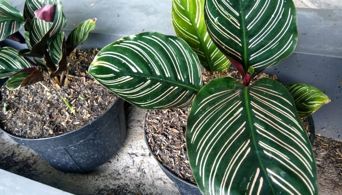 Two Calathea ornata plants in pots - one large and one small.