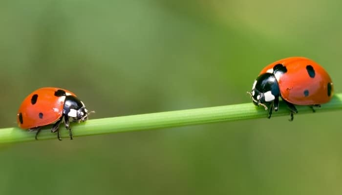 Two ladybugs walking toward each other along a plant stem.