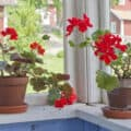 Two potted geranium plants blooming indoors in front of two large windows overlooking a red barn.
