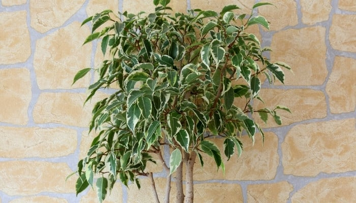A variegated weeping fig tree set against a block wall.