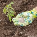 A woman with gloved hand spreading granular fertilizer around young tomato plants.